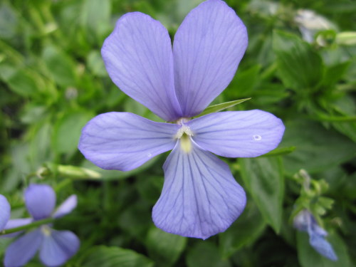 Viola 'Grovemount Blue' - 9cm pot