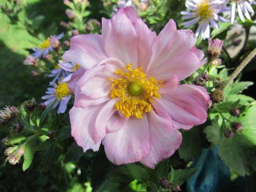 Anemone x hybrida 'Königin Charlotte' (Queen Charlotte) - 9cm pot