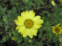 Anthemis tinctoria E. C. Buxton - 2 litre pot