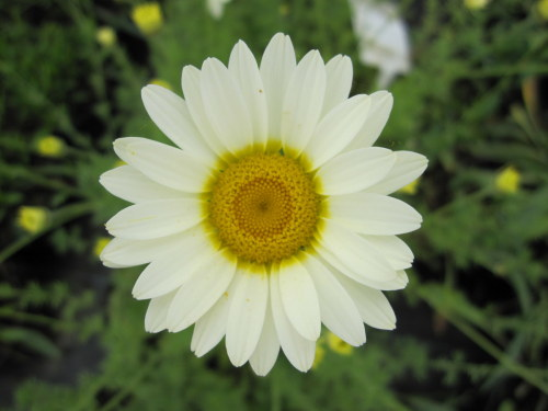 Anthemis tinctoria 'Sauce Hollandaise' - 9cm pot