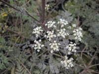 Anthriscus sylvestris Ravenswing - 2 litre pot