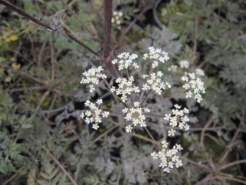 Anthriscus sylvestris 'Ravenswing' - 2 litre pot