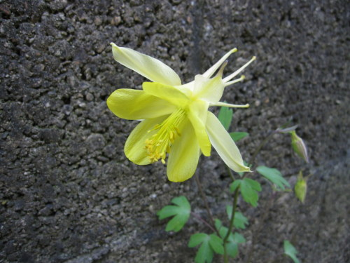 Aquilegia chrysantha 'Yellow Queen' - 9cm pot