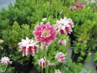 Aquilegia vulgaris var. stellata Nora Barlow - 9cm pot
