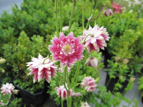 Aquilegia vulgaris var. stellata 'Nora Barlow' - 9cm pot