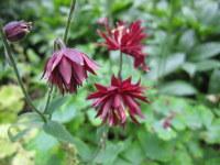 Aquilegia vulgaris var. stellata Ruby Port - 9cm pot