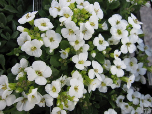 Arabis alpina ssp. caucasica Little Treasure White - 9cm pot