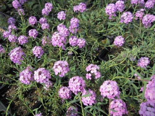 Aethionema 'Warley Rose' - 9cm pot