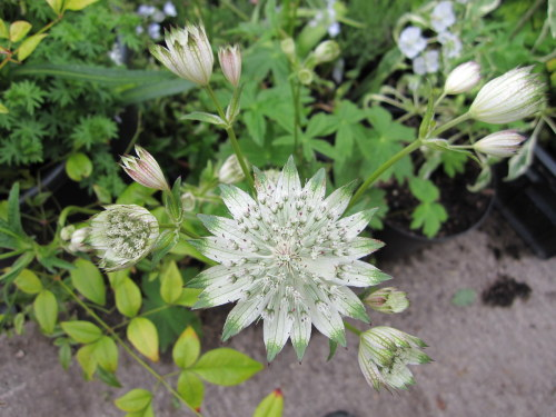 Astrantia major ssp. involucrata 'Shaggy' - 9cm pot