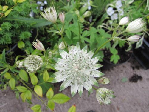 Astrantia major ssp. involucrata 'Shaggy' - 2 litre pot