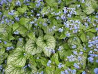 Brunnera macrophylla Jack Frost - 9cm pot