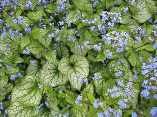 Brunnera macrophylla 'Jack Frost' - 2 litre pot