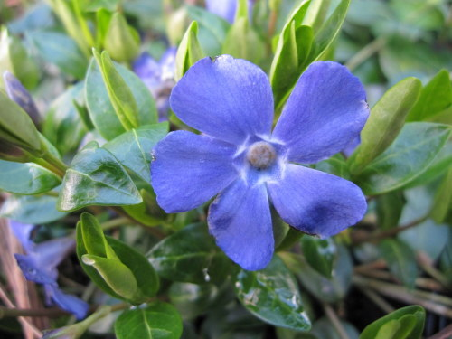 Vinca minor - 9cm pot
