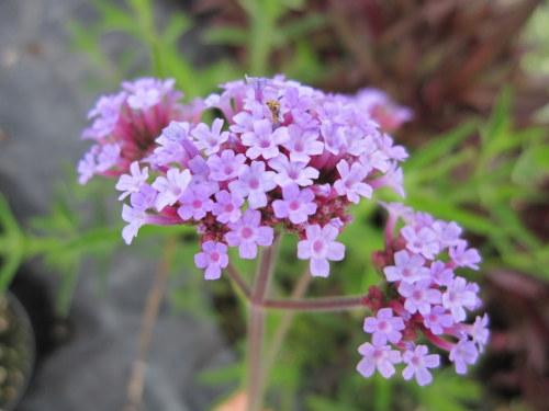 Verbena bonariensis - 9cm pot