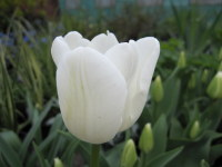 Tulipa White Dream - 2 litre pot