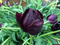 Tulipa Queen of Night - 2 litre pot