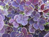 Trifolium repens Purpurascens Quadrifolium - 9cm pot