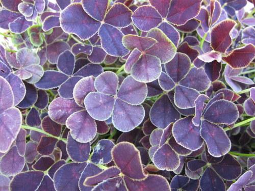 Trifolium repens 'Purpurascens Quadrifolium' - 9cm pot