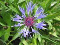 Centaurea montana - 9cm pot
