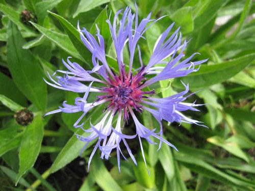 Centaurea montana - 2 litre pot