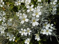Cerastium tomentosum - 9cm pot