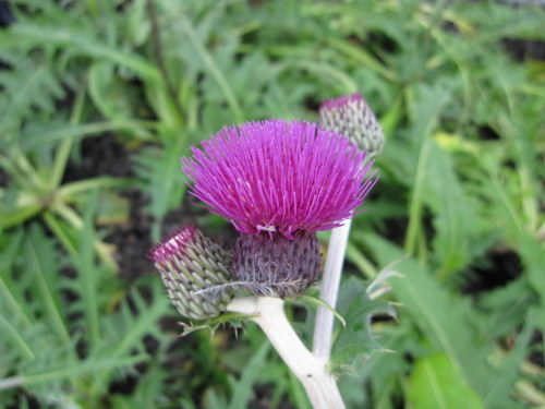 Cirsium rivulare 'Trevor's Felley Find' - 2 litre pot