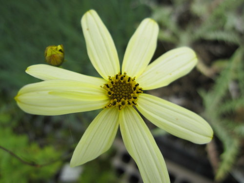 Coreopsis verticillata 'Moonbeam' - 9cm pot