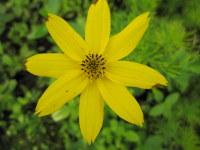 Coreopsis verticillata Zagreb - 9cm pot