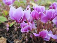 Cyclamen hederifolium - 9cm pot