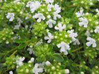 Thymus serpyllum var. albus - 9cm pot