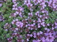 Thymus Bressingham - 9cm pot
