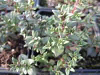 Thyme, Common - 9cm pot