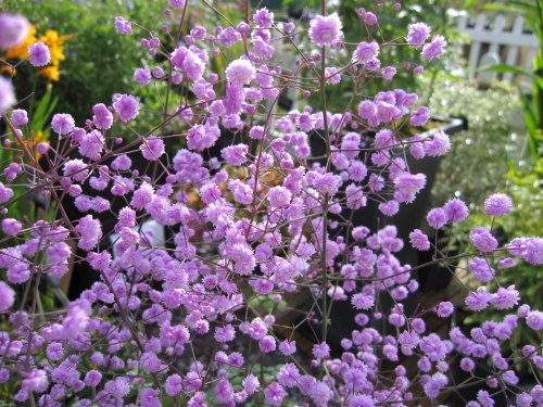 Thalictrum delavayi 'Hewitt's Double' - 9cm pot