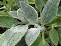 Stachys byzantina - 9cm pot