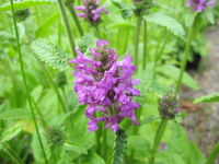 Stachys (Betonica) officinalis Hummelo - 2 litre pot