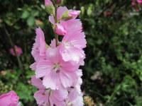 Sidalcea Elsie Heugh - 2 litre pot