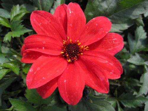 Dahlia 'Bishop of Llandaff' - 2 litre pot