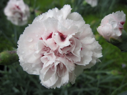 Dianthus 'Cranmere Pool' - 9cm pot
