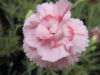 Dianthus Doris - 9cm pot