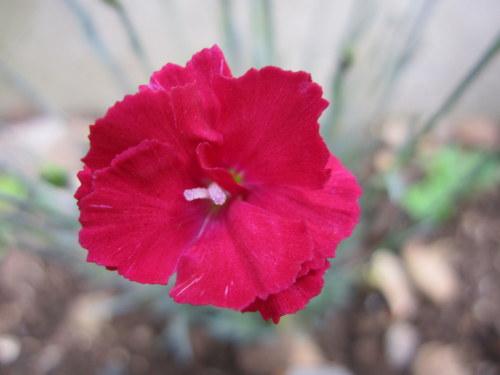 Dianthus 'Fusilier' - 9cm pot