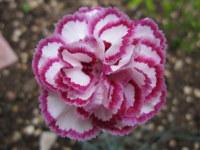 Dianthus Gran's Favourite - 9cm pot