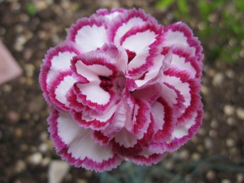 Dianthus 'Gran's Favourite' - 9cm pot