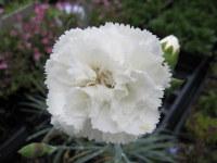 Dianthus Haytor White - 9cm pot