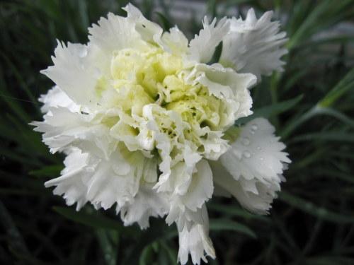 Dianthus 'Mrs Sinkins' - 9cm pot
