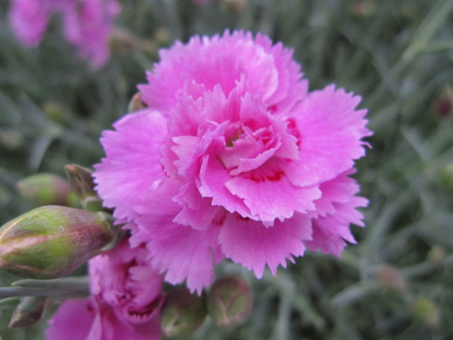 Dianthus 'Whatfield Can Can' - 9cm pot