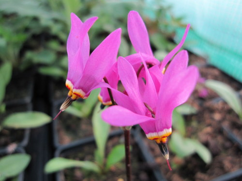 Dodecatheon meadia - 9cm pot