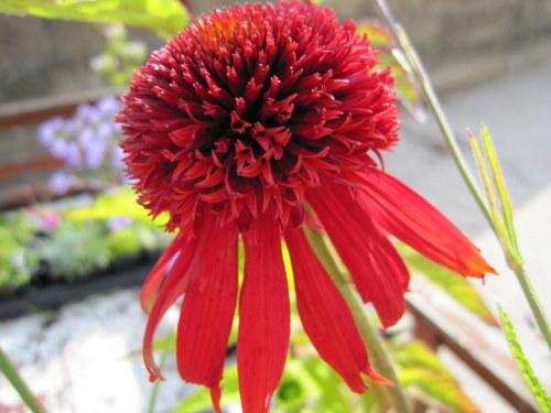Echinacea 'Eccentric' - 2 litre pot