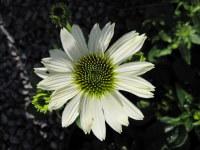 Echinacea purpurea PowWow White - 2 litre pot