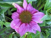 Echinacea purpurea PowWow Wild Berry - 2 litre pot