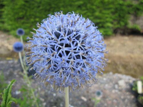 Echinops bannaticus 'Taplow Blue' - 9cm pot